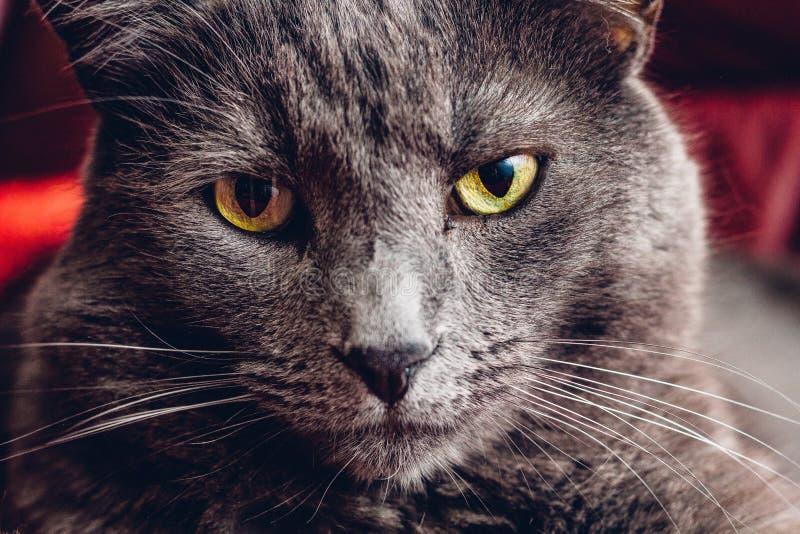 Ryskt slut för blå katt upp royaltyfri bild