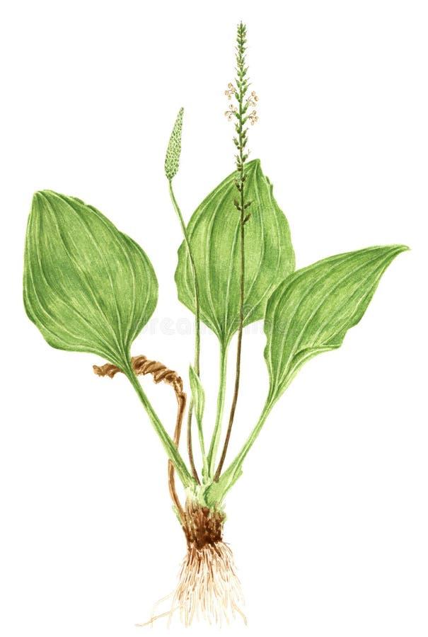 Rysować Broadleaf banana Plantago ważna roślina royalty ilustracja