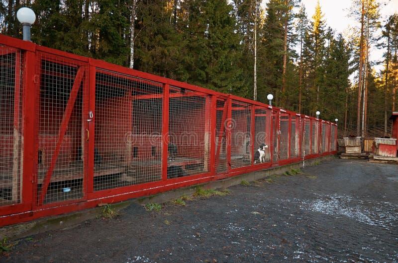 Ryssland En hund av den skrovliga aveln i den Talvi Ukko för hundcattery` `en, November 14, 2017 royaltyfria bilder