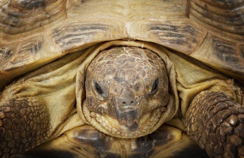 rysssköldpadda royaltyfri foto