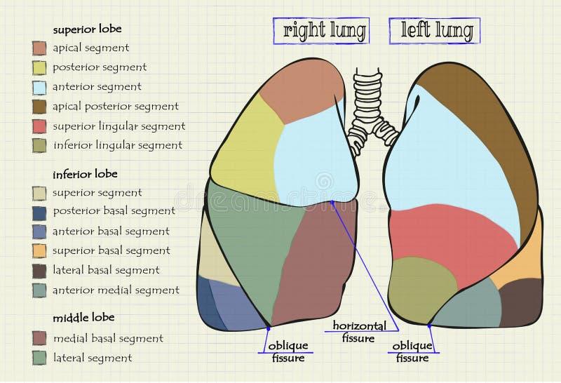 Rysunkowa diagram część ludzki płuco ilustracja wektor