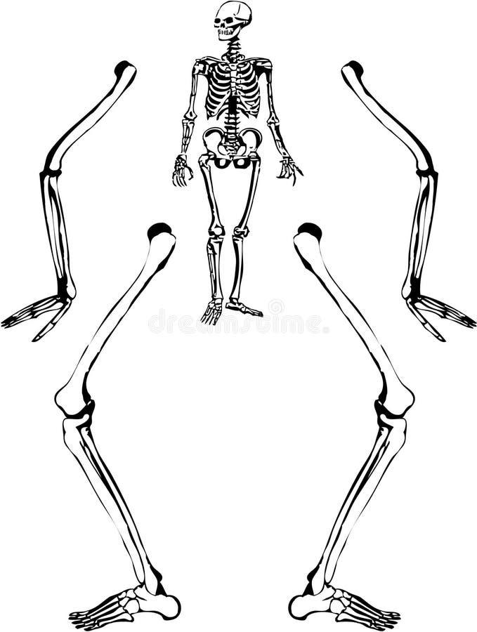 rysunkowy ludzki kościec ilustracja wektor