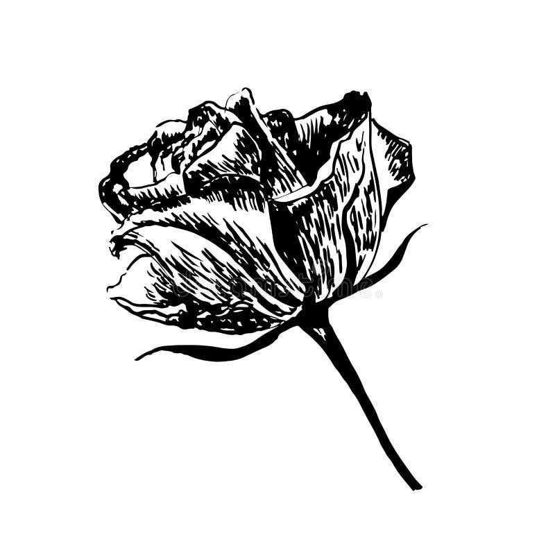 Rysunkowy rocznika kwiat róży ręka rysująca ilustracja ilustracja wektor