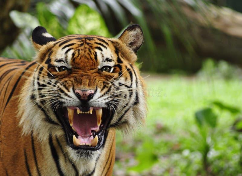 Ryta Tiger Fotografering för Bildbyråer