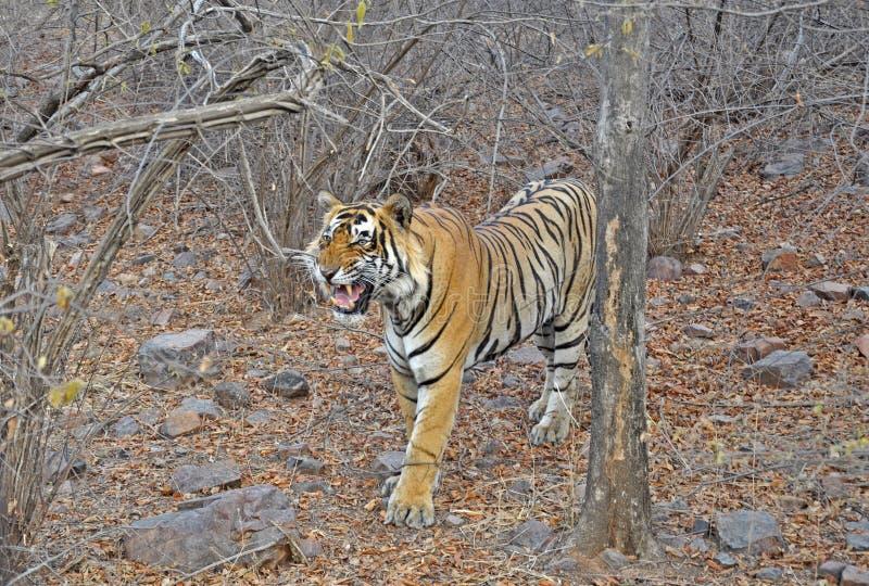 ryta tiger royaltyfri fotografi