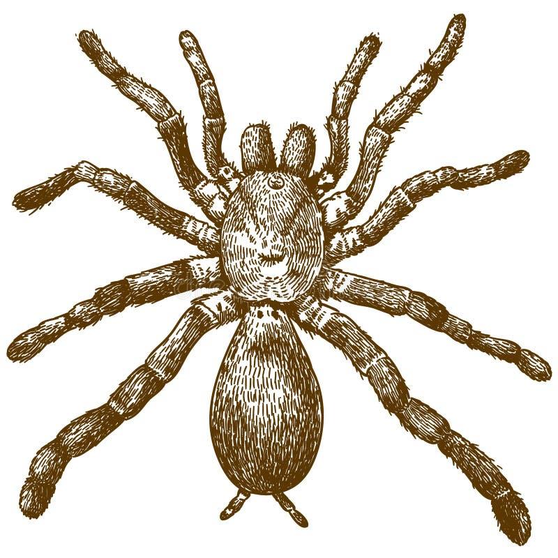 Rytownictwo ilustracja królewiątko pawianu pająk ilustracja wektor