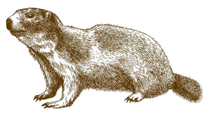 Rytownictwo ilustracja wysokogórski świstak ilustracja wektor