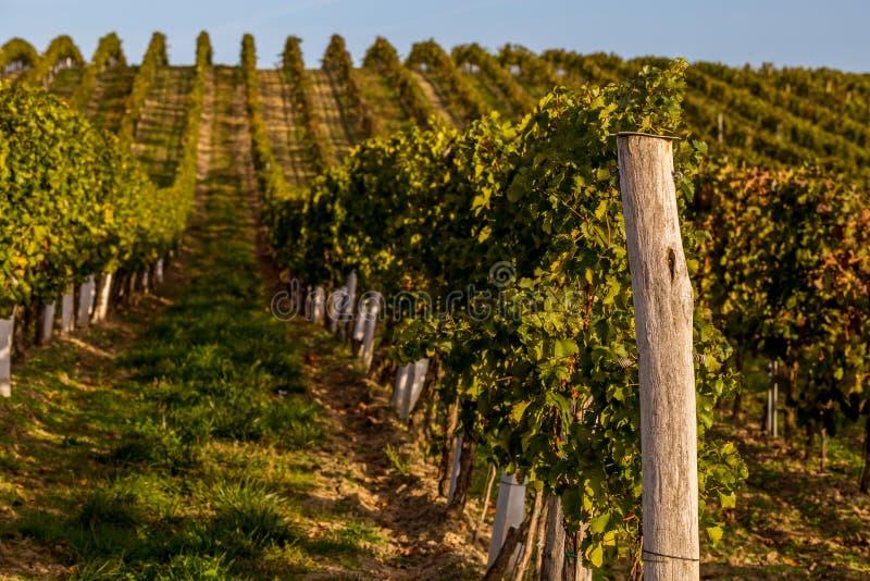 Rzędy winogrady na wzgórzu zdjęcie royalty free