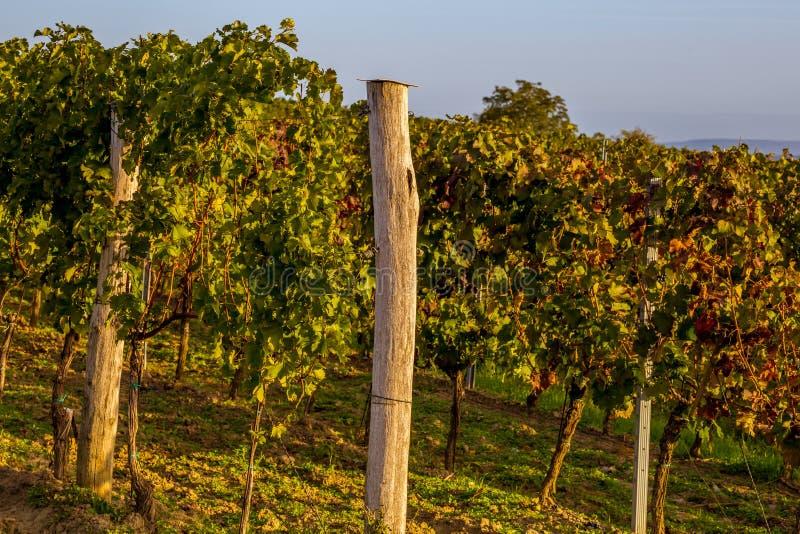 Rzędy winogrady na wzgórzu fotografia royalty free