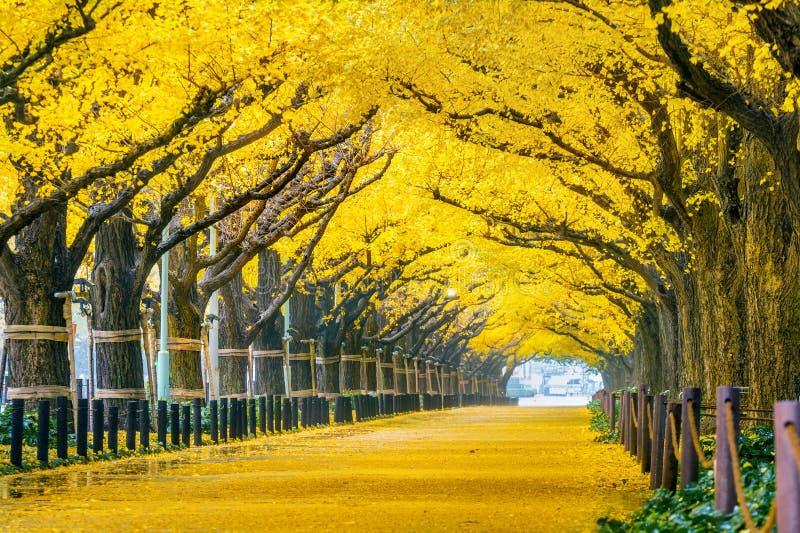 Rząd żółty ginkgo drzewo w jesieni Jesień park w Tokio, Japonia zdjęcia stock