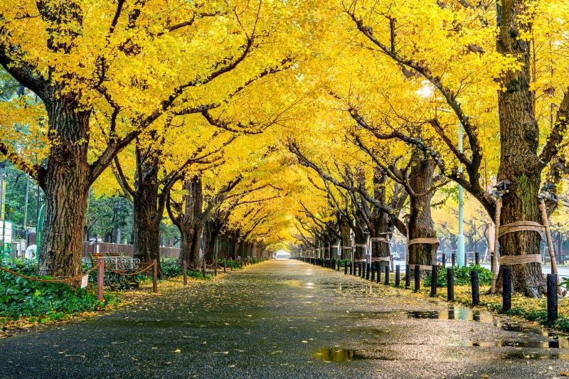 Rząd żółty ginkgo drzewo w jesieni Jesień park w Tokio, Japonia zdjęcie stock