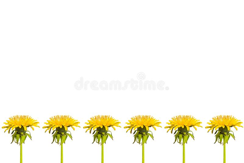Rząd dandelion liście na białym tle i kwiaty fotografia stock