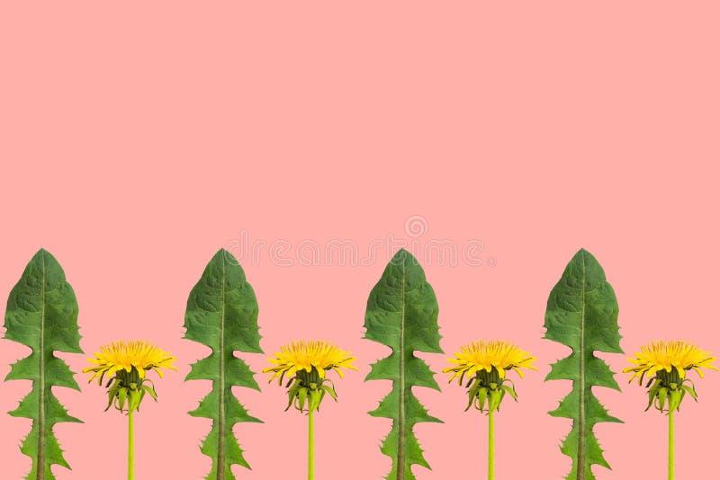 Rząd dandelion liście na koralowym tle i kwiaty obraz royalty free