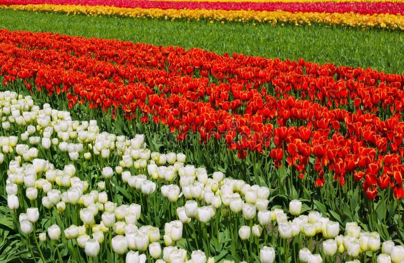 Rząd Kolorowi tulipany zakłada w Wiejskim położeniu obraz stock