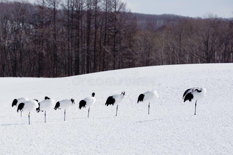 Rząd koronujący żurawie na Jeden nodze w śniegu obraz stock