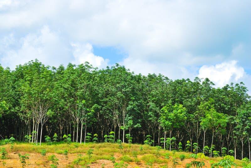 Rząd Para gumowy drzewo zdjęcia royalty free