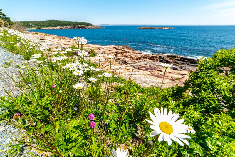 Rząd stokrotki przed Atlantyckim oceanem w Acadia parku narodowym, Maine, usa zdjęcie stock