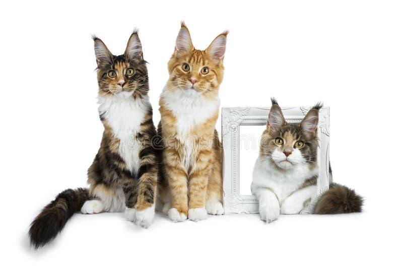 Rząd trzy Maine Coon kota figlarki siedzi i jako trzeci kłaść przez białego photoframe, dwa, wszystko przyglądającego w kamery is zdjęcia royalty free