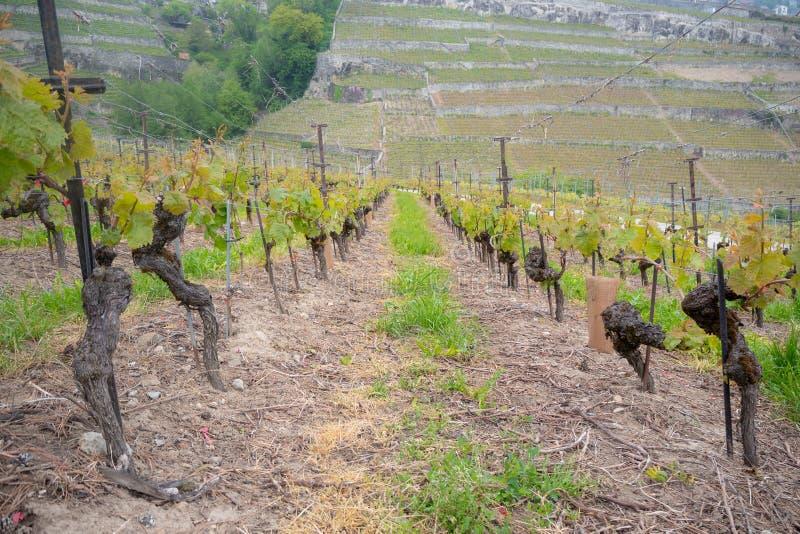 Rząd winogrono w winnicy w obszarze wiejskim Szwajcaria zdjęcia stock