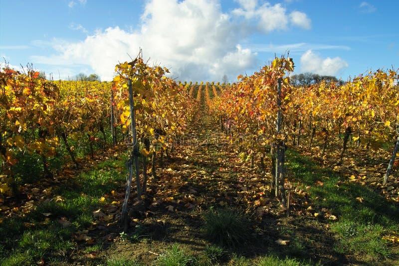 rządy winogron zdjęcia stock