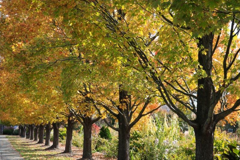 rzędów drzewa obraz royalty free