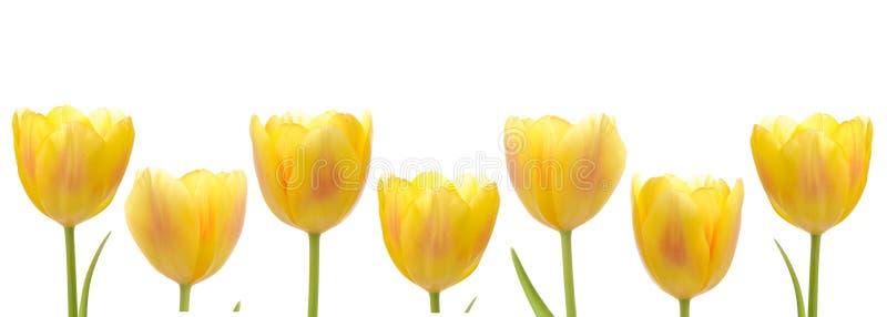 rzędu tulipanu kolor żółty obraz royalty free