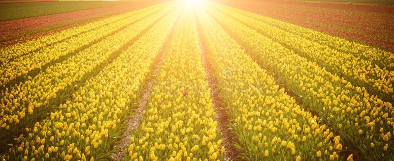 Rzędy żółci tulipanowi kwiaty przy polem w holandiach, iluminujący światłem słonecznym zdjęcia royalty free