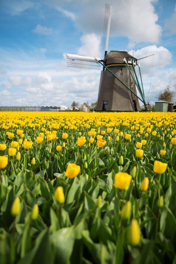 Rzędy żółci tulipany w holenderze obraz royalty free