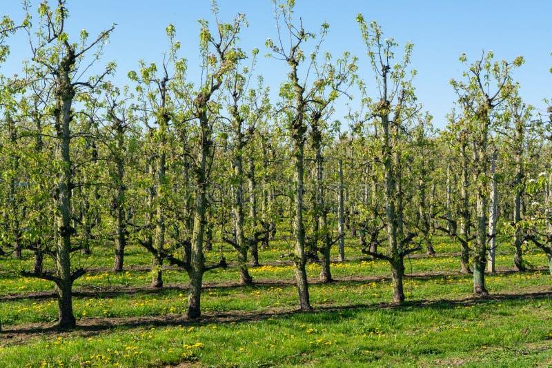 Rzędy bonkret drzewa w sadzie, owocowy region Haspengouw w Belgia obrazy royalty free