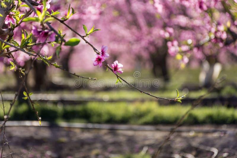 Rzędy brzoskwini drzewo w kwiacie, z różowymi kwiatami przy wschód słońca Aitona alcarras, Torres De Segre Rolnictwo obrazy royalty free