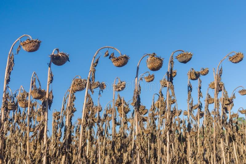 Rzędy dojrzali słoneczniki w jesiennym organicznie polu obrazy royalty free