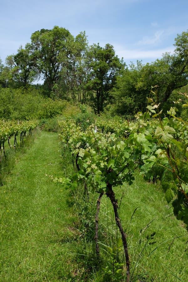 Rzędy gronowi winogrady przy Harris mosta winnicą w Oregon obraz royalty free