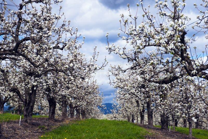 Rzędy jabłonie kwitnie w wiosna jabłczanym sadzie obraz royalty free