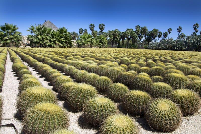 Rzędy kaktus przy Wirikuta pustyni ogródem botanicznym Puerto Los Cabos Meksyk obraz royalty free