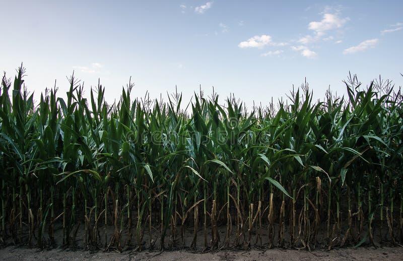 Rzędy późne lato kukurudza obrazy stock