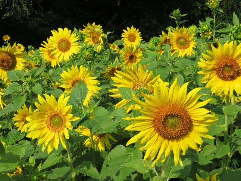 Rzędy słoneczniki przy przy schronieniem zdjęcia royalty free