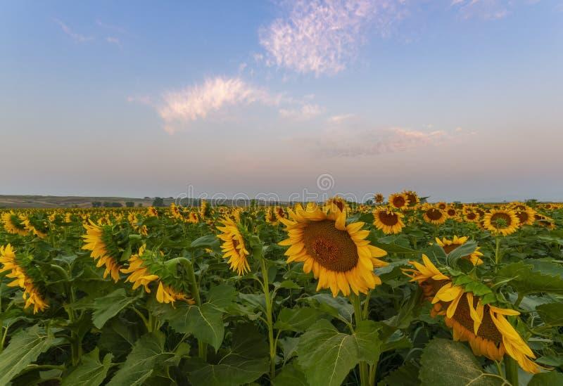 Rzędy słoneczniki w Kolorado zdjęcia royalty free