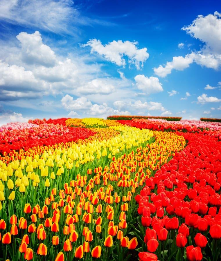 Rzędy tulipanowi kwiaty fotografia stock