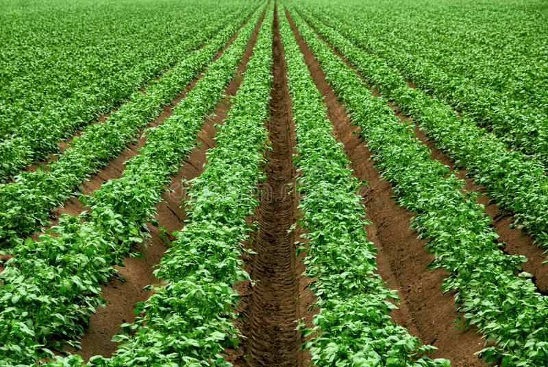 Rzędy wibrujące zielonej uprawy rośliny obrazy royalty free
