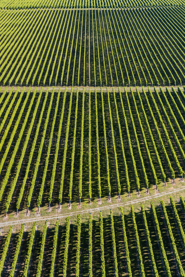 Rzędy winorośl w winnicy zdjęcia stock