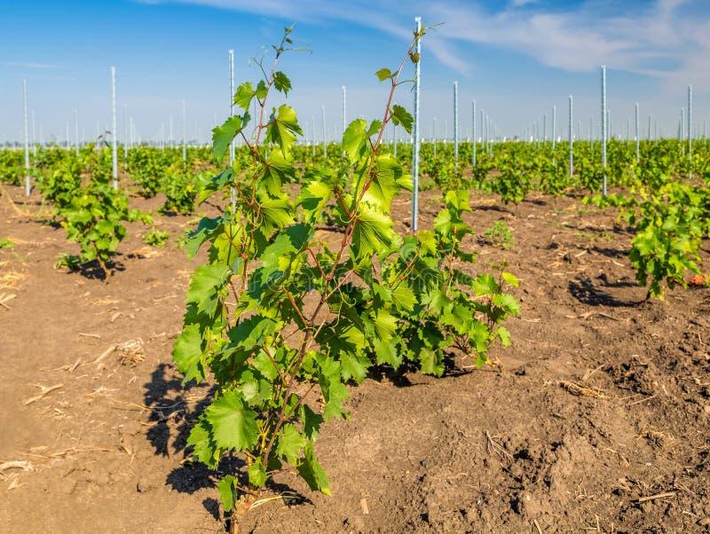 Rzędy zieleni winogrady w winnicy w wiejskim Moldova zdjęcia stock