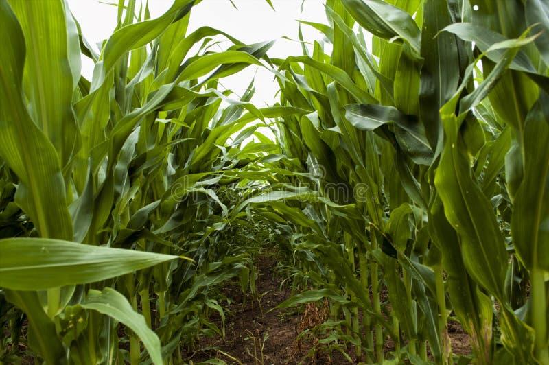 Rzędy zielona kukurudza zdjęcia stock