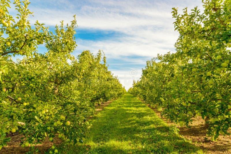 Rzędy zielone jabłonie fotografia stock