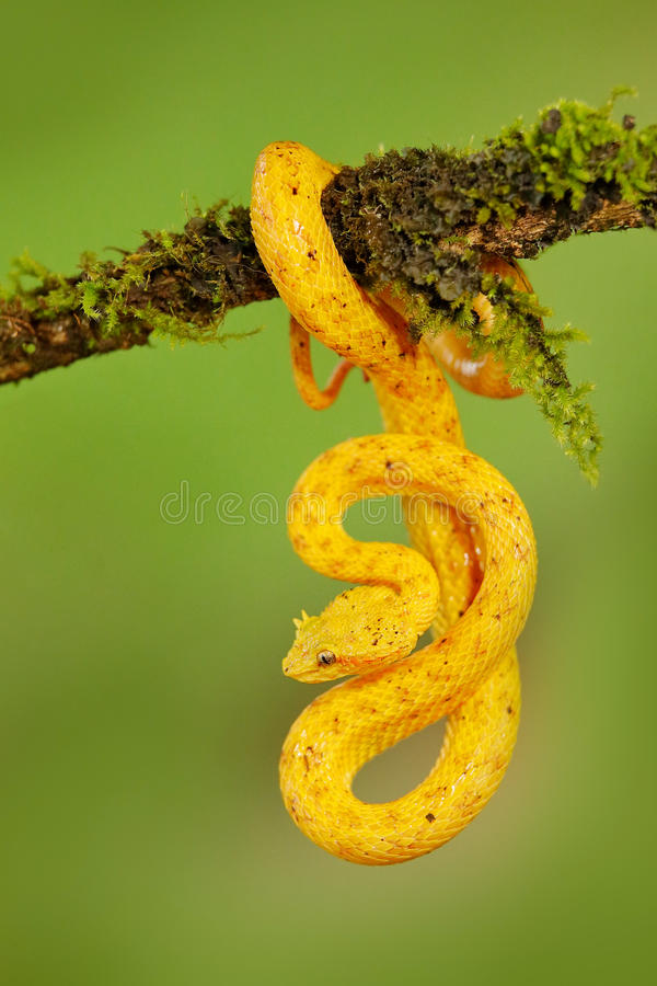 Rzęsa Palmowy Pitviper, Bothriechis schlegeli na zielonej mech gałąź, Venomous wąż w natury siedlisku Jadowity zwierzę dla fotografia royalty free