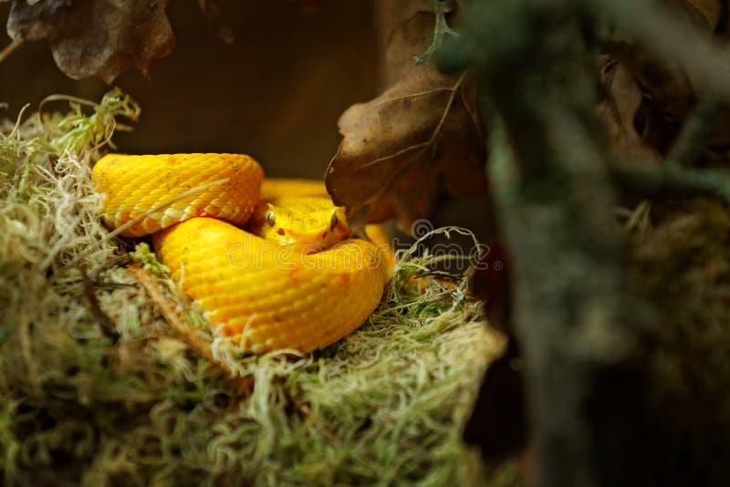 Rzęsy jamy Palmowa żmija Jadu wąż od Costa Rica Żółta rzęsa Palmowy Pitviper, Bothriechis schlegeli na zielonej mech gałąź, n zdjęcia stock