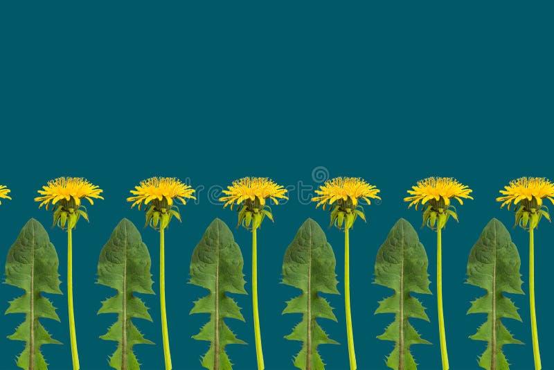Rz?d dandelion li?cie na ciemnozielonym tle i kwiaty fotografia royalty free