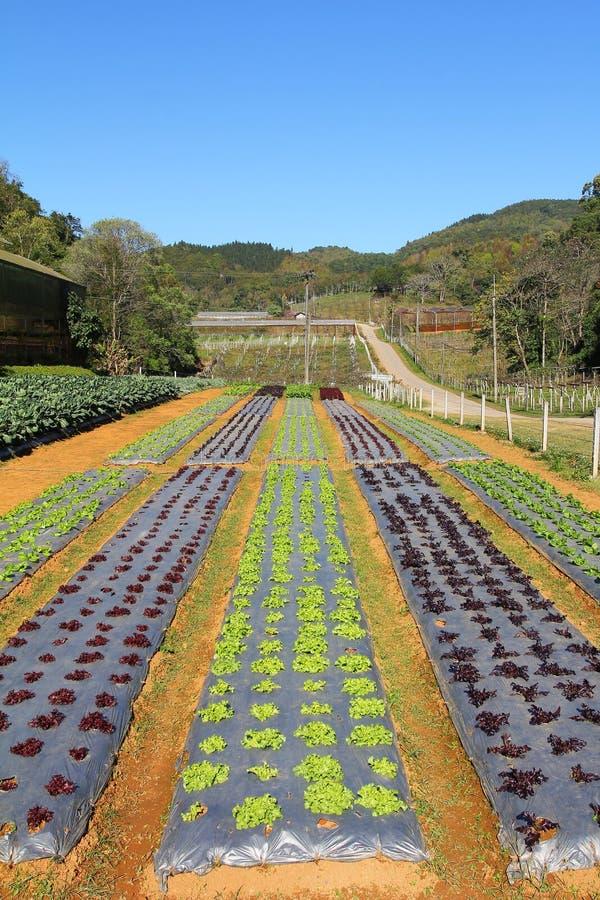 Rz?dy m?ode jarzynowe rozsady Luttuce gospodarstwo rolne w Thailand zdjęcie stock
