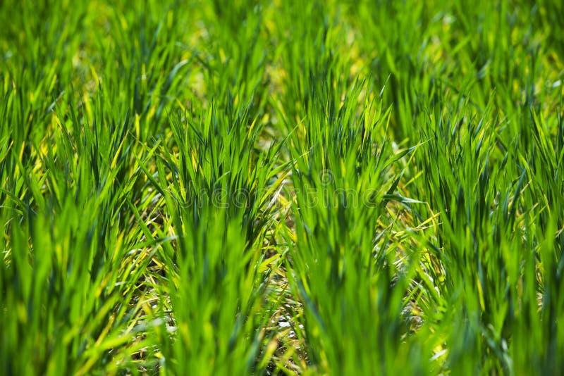 Rz?dy z zielonymi pszenicznymi flancami zdjęcie royalty free