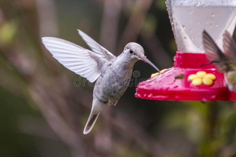 Rzadcy biali Leucistic Hummingbird Eugenes Wspaniali spectabilis w Costa Rica zdjęcia stock