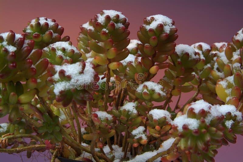 Rzadka scena kaktusy z śnieżnymi wierzchołkami zdjęcia royalty free
